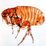 colchester pest control provide flea treatments